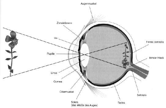 Abbildung 2 1 schnitt durch das menschliche auge mit vereinfachtem